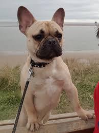 frenchbulldogfawnmonthsefde