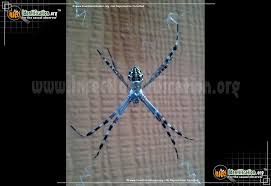 full sized image 5 of the silver garden spider