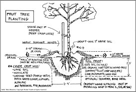 Planting Advice  Trees Of Antiquity Heirloom Fruit Trees For Planting A Fruit Tree