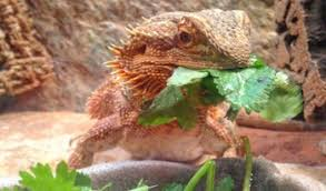 Bearded Dragon Nutrition Chart How Often To Feed A Bearded Dragon At Any Age 2019