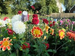 Small Picture Doddington Place Gardens Why dahlias are todays hottest trend