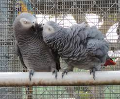 African Grey Parrot breeding (I)