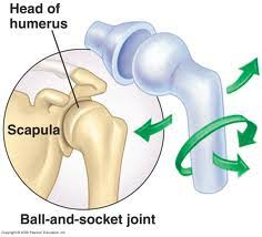 ball and socket joint. ball and socket joints (arm into shoulder) or hinge joint (knees elbows)? d