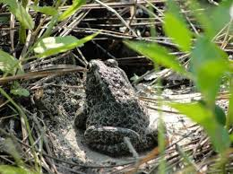 Image result for dusky gopher frog recovery plan