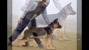 german shepherd tibetan mastiff mix. Perfect Tibetan German Shepherd And Tibetan Mastiff With Mix D