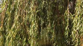 Image result for willow overhanging river