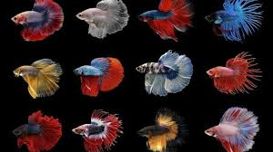 Betta Fish Chart Types Of Betta Fish Which Is The Perfect One For You