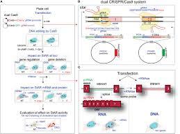 Crispr Cas9 Guide Rna Design Frontiers Monitoring Of Dual Crispr Cas9 Mediated