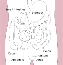 Gastrointestinal Tract Wikipedia
