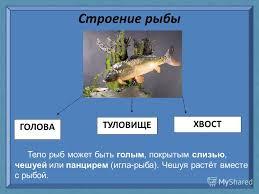Презентация на тему Рыбы удивительные создания природы Автор  6 Строение рыбы ГОЛОВА ТУЛОВИЩЕ ХВОСТ Тело рыб может быть голым покрытым слизью чешуей или панцирем игла рыба Чешуя растёт вместе с рыбой