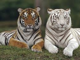 baby white tigers wallpaper.  Wallpaper Baby White Tiger Wallpapers Wallpaper Cave With Tigers H