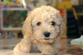 not surprisingly many goldendoodle puppies end up having the intelligence of the poodle and the loyalty of the golden retriever