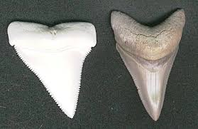 megalodon shark tooth compared to great white. Perfect White Megalodon Shark Tooth Compared To Great White  Photo24 For Shark Tooth Compared To Great White N