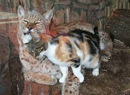 lynx size homeless cat sneaks into zoo and becomes friends with a lynx