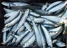 sardines which are monly referred to as pilchards are small oily fish that are rich in omega 3 fatty acids omega 3 fatty acids seem to have the