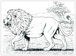 mountain lion coloring page pages animals realistic famous lio