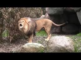 Löwen zoo leipzig