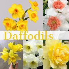 fl friday daffodils