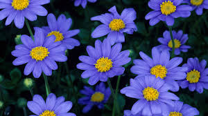 pretty blue flowers images flower meanings pictures and photos