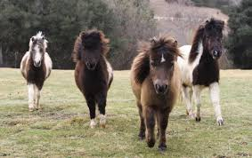 Image result for miniature horse
