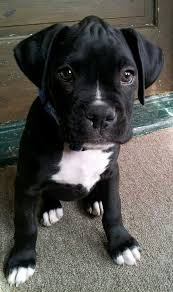black and white pitbull boxer puppies. Simple Black Brindle Boxer Puppies Black Dogs And Cute  Inside White Pitbull Puppies T