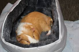10 tricks get guinea pigs interacting family scotchy the guinea pig sleeping in his bed
