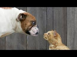 cats and dogs play fighting. BEST Dog Cat Fighting And Playing COMPILATION 2015 Intended Cats Dogs Play