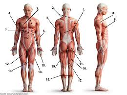 The muscles of the human body are responsible for movement; Muscle Anatomy Quiz