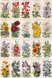 english garden flowers. Cigarettes Card-Old English Garden Flowers L