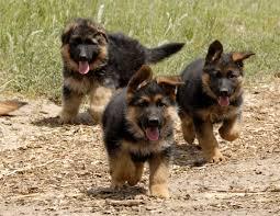 black and brown german shepherd puppies. Interesting German German Shepherd Ears Not Standing Up What Can I Do In Black And Brown Shepherd Puppies