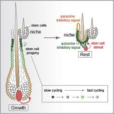 dynamics between stem cells niche and