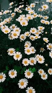 Vintage Daisy Flower Wallpaper Iphone