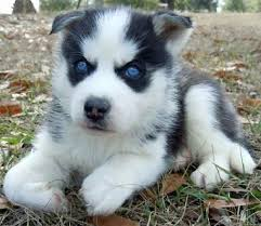 black husky puppies with blue eyes. Contemporary With Black And White Siberian Husky Puppies With Blue Eyes On With Blue Eyes N