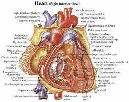 Cardiac Anatomy Chart Heart Model With Valves