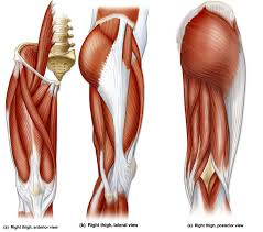 Upper Leg Muscle Chart Name The Thigh Muscles Quiz By Jenniferstai13