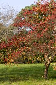 Red Leaf Fruit Tree
