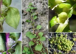 Theligonum cynocrambe L. - Guida alla flora degli stagni ...