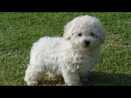 Snow White Poodle Puppies 3 months old for Sale in India. Poodle Pups: White,  Black, Cream & Golden - YouTube