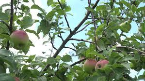 Dominican Life On Lotus Lane Farewell TrinidadLotus Fruit Tree