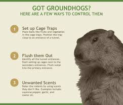 how to keep groundhogs out of my garden. Brilliant Keep How To Get Rid Of Groundhogs Infographic For To Keep Out Of My Garden Q