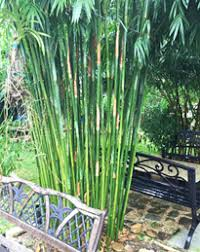 Houston Bamboo Nursery hedge bamboo