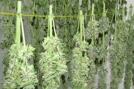 Image result for marijuana plants