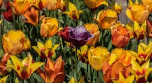 La Tulipe symbolisme