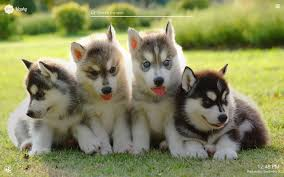 cute dogs and puppies husky. Contemporary Husky Inside Cute Dogs And Puppies Husky U