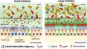 maintenance of intestinal homeostasis