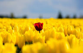 Amazing free hd spring wallpapers collection. Tulips Flowers Field Yellow Red Single Nature Spring Wallpapers Hd Desktop And Mobile Backgrounds