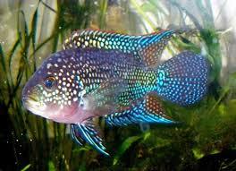 نتیجه تصویری برای ماهی جک دمپسی