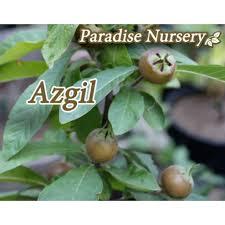 7 Best Pistachio Trees Images On Pinterest  Pistachios Pistachio Iranian Fruit Trees