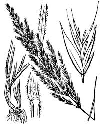 Avellinia festucoides (Link) Valdés & H.Scholz - Portale della Flora ...