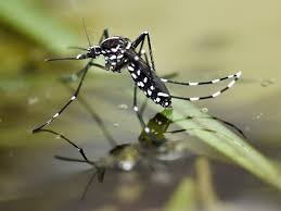 Where does the asian tiger mosquito